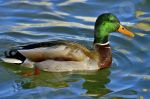 Photo libre -  canard sur l'eau
