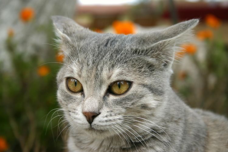 Photo libre petit chat gris et blanc chats animaux - Image de petit chat ...