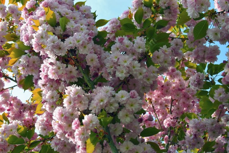 Photo libre fleur de pommier du japon fleurs plantes et v g tations - Pommier du japon fruit ...