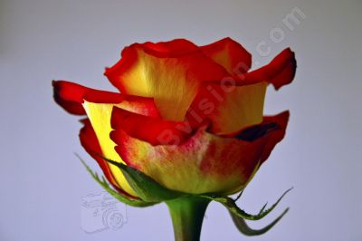 Rose - Photo libre de droit - PABvision.com