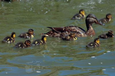 Famille de canards  - Photo libre de droit - PABvision.com